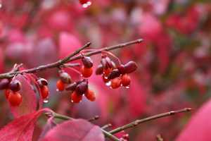 Oct. 13: Water droplets collect along the stems of a burning bush (Euonymus alatus) at Grandfather Mountain. (Photo by Kellen Short) While the bush is considered invasive in some parts of the United States, it's hard to deny its autumn allure as the dark green leaves turn to vivid red in fall.