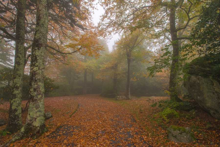 Oct. 14: Heavy fog and rain greets visitors to the High Country today, but theautumn colors provide a cheery glow in moments when the veil liftsbriefly. (Photo by Skip Sickler)