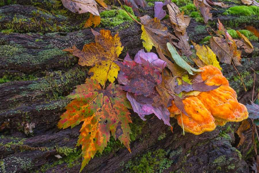 Oct. 21:Fallen leaves gather on a mushroom-ridden log near Grandfather Mountain (Photo by Skip Sickler) At the highest elevations in western NorthCarolina, visitors are increasingly finding the most beautifully colored leaves cascading toward the ground.