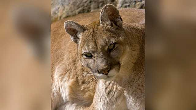 Nikita, a cougar who had been at Grandfather Mountain for more than 10 years, has died.