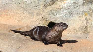 Emmy, a 9-month-old otter at a Grandfather Mountain wildlife habitat, has died.