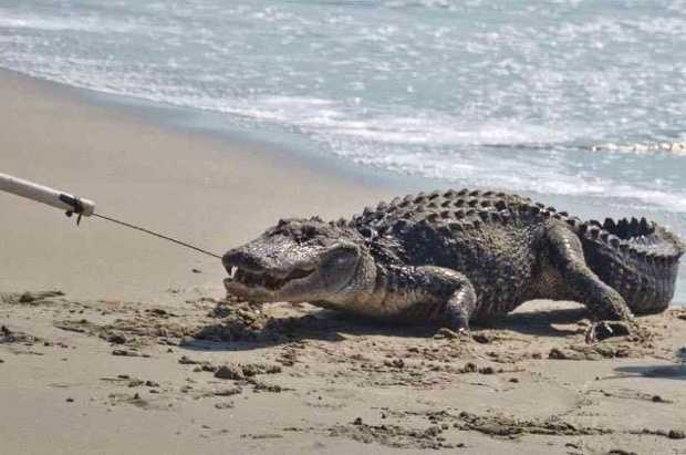 After Numerous Shark Attacks 7 Foot Gator Found On SC Beach