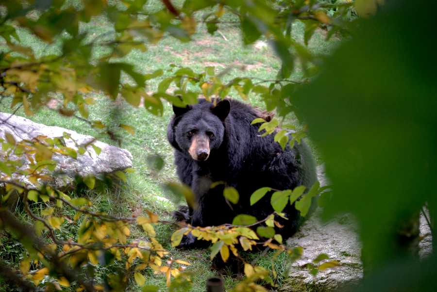 Sept. 24: Smokey, one of Grandfather Mountain's resident bears, takes in the autumn sights, sounds and weather from the mountain's bear habitat.