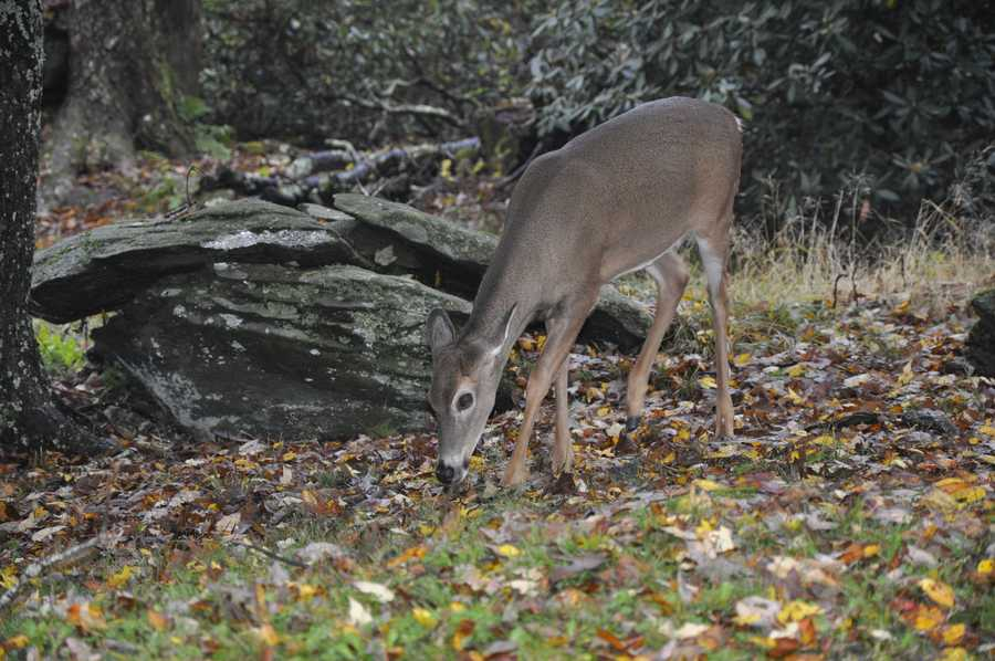 Sept. 29 - A deer takes advantage of a break in the rain for some fall foraging on Grandfather Mountain. Although Grandfather houses deer in its animal habitats, wild deer are a common sight on the mountain.