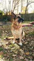 Missing: Muir's Chapel/Penn Wyne, Greensboro, NCZuzu, is 80 lb German Shepherd who got loose between 4:45 and 5pm, 5/8 (Mother's Day) Please keep your eyes open for her. Very shy and sweet disposition but very scared too. Her collar has multi-colored peace signs and her name tag with number 336-669-7653. She will not likely come to anyone. She was lost off Penn Wyne and Muir's Chapel. Please call at any hour if you think you may have or do see her