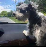 Missing: Old Greensboro Rd., Thomasville NC - REWARD OFFERED! Gracie has been missing since Sunday, May 8th, from her yard on Old Greensboro Rd. Someone posted a picture that had found her but has not contacted owner. Please call Patty at 336-596-3020 with any info