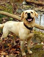 Missing: Burlington, NC - May 9, 2016Emmett is a yellow lab around 5 years old and has been missing since May 9, 2016. He was last seen nearBeaver Creek Road in Burlington, NCwearing a dark brown leather collar. If seen please contact Carly at 336-693-1977, 336-213-8543, or emailcarlykonzelmann@gmail.com