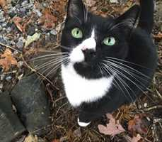 """Missing: Day Rd in Walkertown, NC. - $300 REWARD Last seen on May 13, 2016. His name is """"Free"""". His is a large, neutered, black and white male. Please call 336-793-6968."""