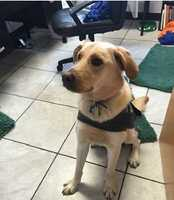 Missing: Clemmons, NC – 5/31/16 Peter was being fostered for a marine that has been deployed when he escaped his fenced-in yard at 8940 Styers Ferry Road, Clemmons, overnight on Tuesday and is still missing. A scent tracking dog tracked Peter from the driveway to the road, so it seems he was picked up by someone. Peter is aprox. 80 lb. male, very friendly.If you have any information, please email lrnc@labrescuenc.org.