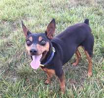 Last seen near Forest Park Elementary School in Winston Salem. He is a 7 year old miniature pinscher named Bear. Slipped out of his harness while going for a walk. If you have any information, please email stilt246@gmail.com.