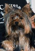 """Lost in Southmont, NC - 8/17/16 Sweet yorkie """"Bunny"""", disappeared from yard around 10am - Aug 17th. in Southmont. If you have found her or seen her please call (336) 499-6163"""
