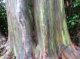 Eucalyptus trees are big in Hawaii. The dried leaves and oil are used to make medicine.