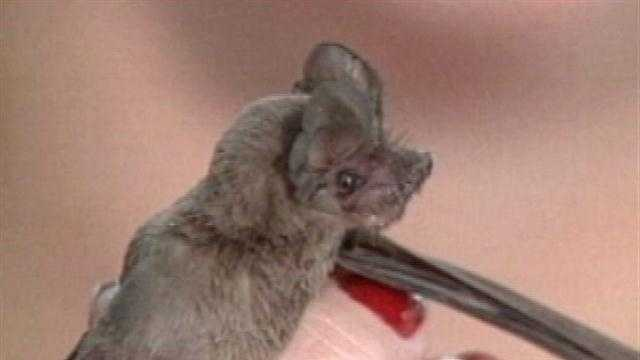 Hundreds of Bats Found in Upstate School - 30468270