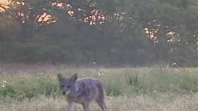 A bill that passed the South Carolina House of Representative would lower restrictions on hunting coyotes, armadillos and wild hogs.