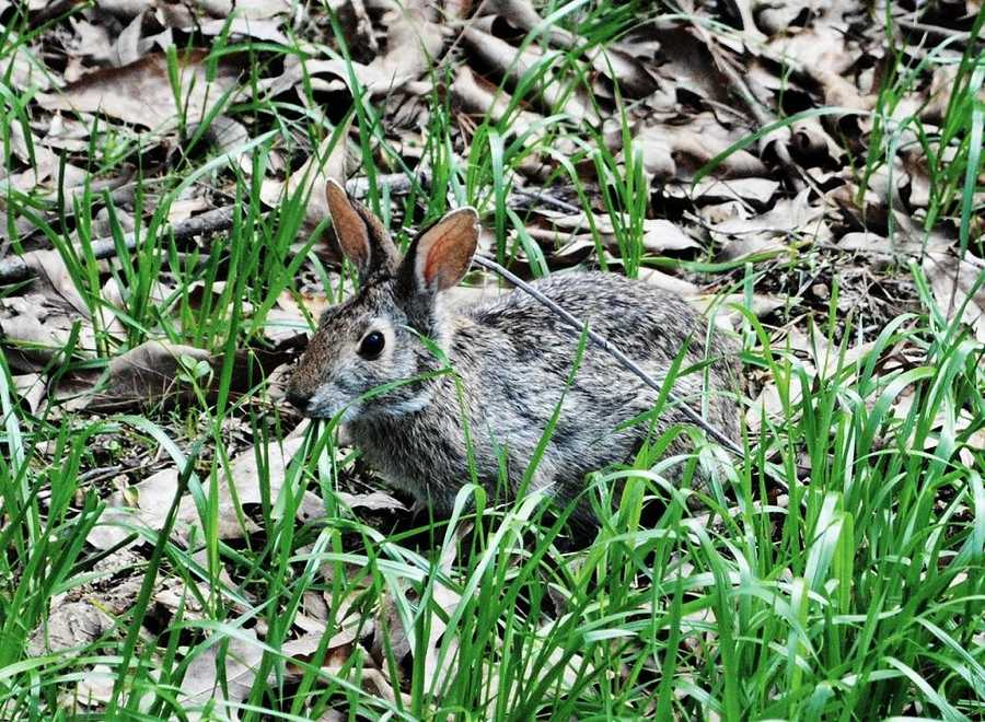 "Swamp Rabbit (Trail): Named for the nickname that was given to the Carolina, Knoxville, and Western Railway in the 1800s. The train was commonly known as the ""swamp rabbit,"" which is a large variety of cottontail that lives in the Southeast wetlands and is skilled swimmer. The trail runs along the tracks of the defunct railroad."