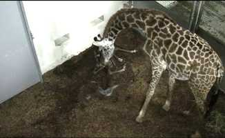 12:14p.m.: Autumn fondles the baby with her nose, and then keeps moving away, appearing to encourage the calf to get up