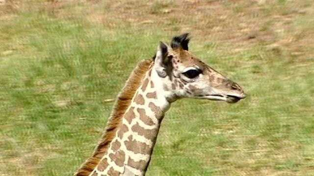 Greenville Zoo's new baby giraffe is a boy, named Kiko