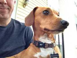 A chi-weenie is a chihuahua-dachshund mix.
