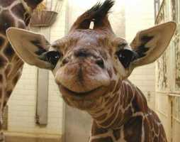 And who can forget Kiko, the giraffe born at the Greenville Zoo. This story was very popular on WYFF4.com. FULL STORY