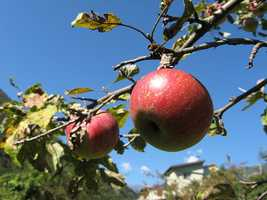 An apple a day keeps the doctor away: Research at the University of Ulster found that apple phenols protect against colon cancer. Researchers at Cornell University also found that up to six apples a day can prevent breast cancer in primates, and believe this may also apply to humans