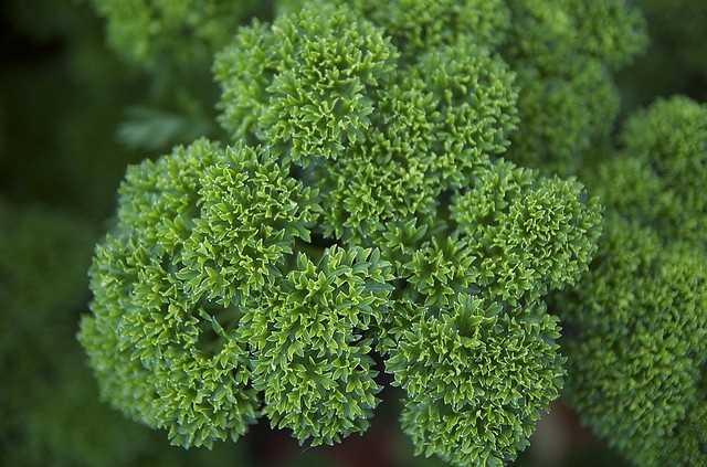 Chewing parsley cures bad breath: Parsley has long been known to counteract garlic breath.  Herbalist Dee Atkins says that the high sulphur content of garlic that causes the unpleasant odor it counteracted by compounds in parsley.  But putting parsley in food to cure bad breath doesn't work.  It takes chewing a sprig of fresh parsley.