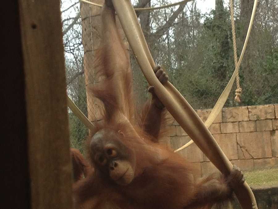 Bob, the baby Orangutan at the Greenville Zoo, celebrated his birthday this weekend and made his Superbowl pick for the year.