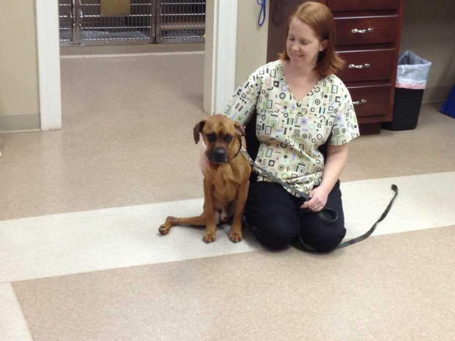 On Tuesday, the Inman Animal Hospital took in a dog found by a good Samaritan. The boxer mix had been on the streets of Lyman.