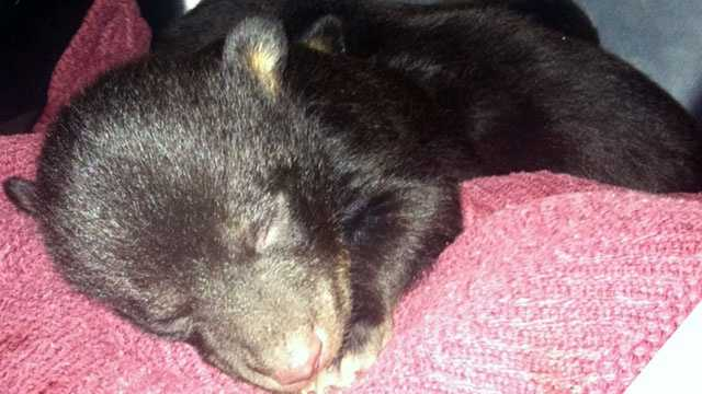 3 bear cubs rescued from the Upstate in March are getting a new life. Click HERE for more of their story. Keep clicking through these pictures for a look how  they have grown. This first picture shows one of the cubs (we are not sure which one) when they were rescued in March.