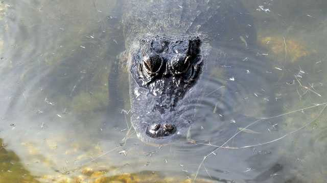 alligator close generic