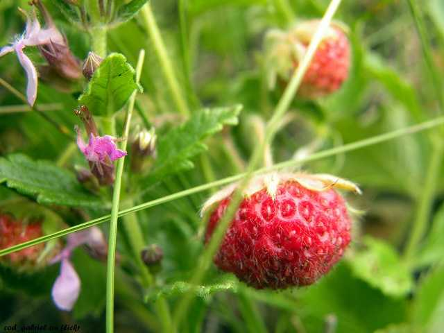 Native Americans ate strawberries long before European settlers arrived.