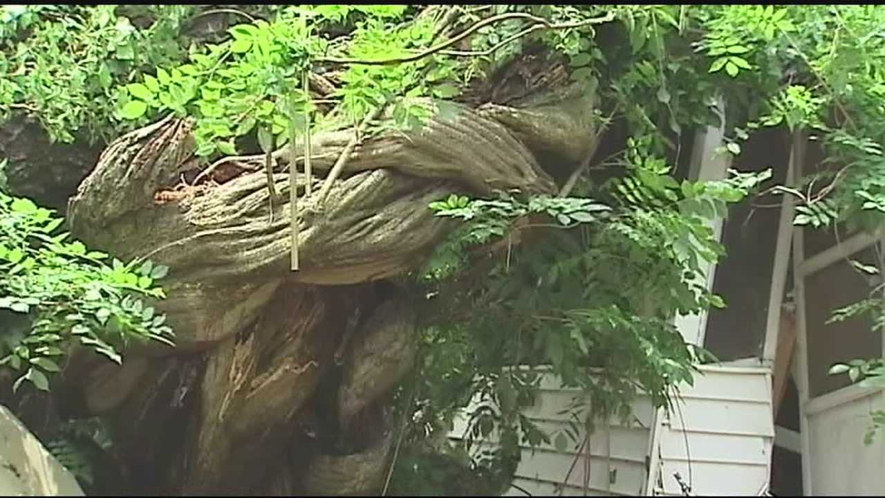 A husband and wife say a rude awakening Sunday morning could have killed them. Early Saturday, a huge oak tree and the largest wisteria vine in the state fell on top of their home while they slept.
