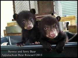 This is Bennie and Jerry when they arrived in Tennessee. (All pictures provided by Appalachian Bear Rescue)