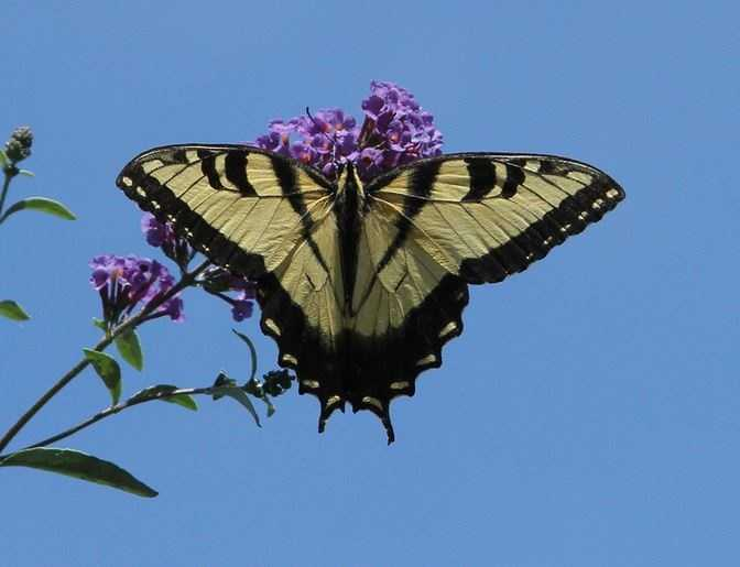 The state butterfly is the Eastern tiger swallowtail.