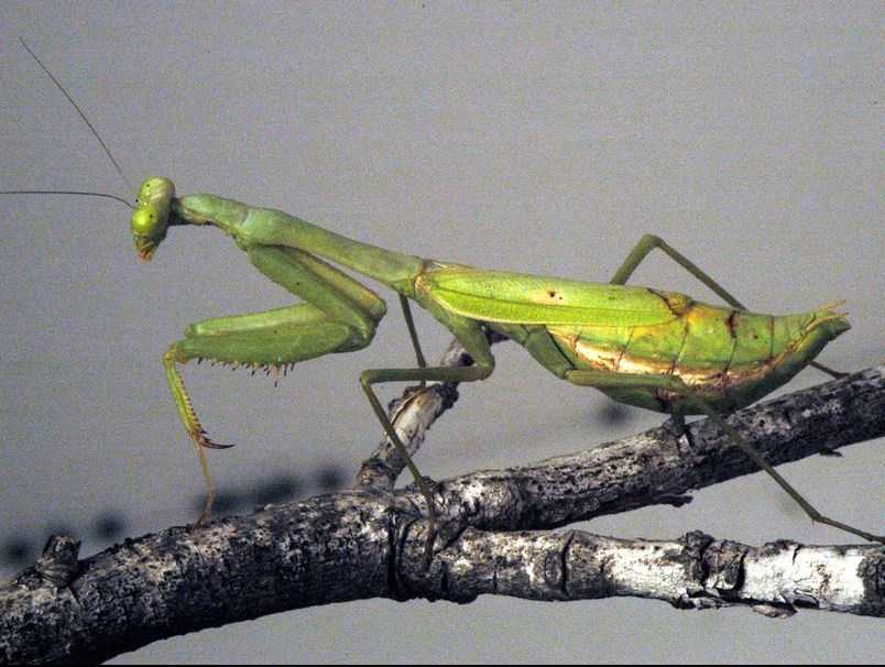 The state Insect is the Carolina mantid.