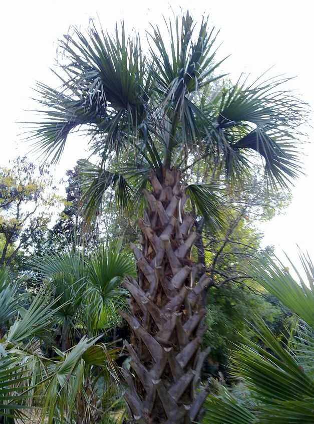 The state tree is the Sabal Palmetto.