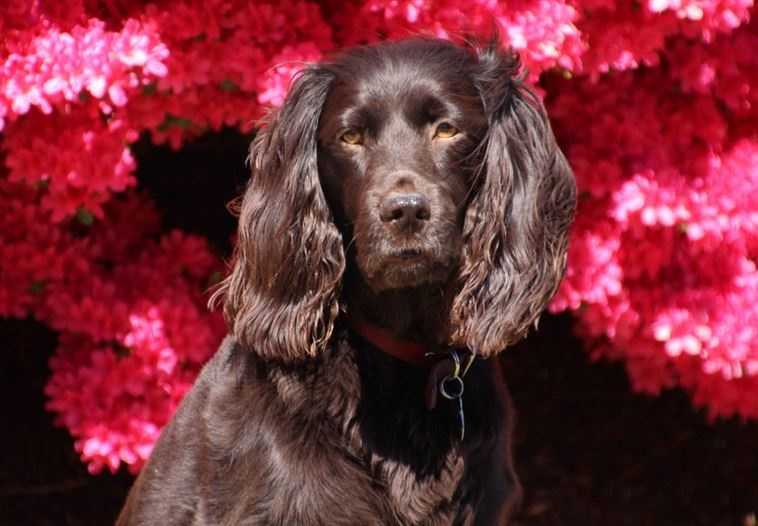 State dog is the Boykin spaniel.