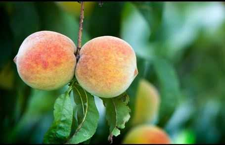 The state fruit is the peach. (Despite Georgia's Peach State nickname, SC leads in production 3-to-1.)
