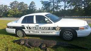 Dare County, N.C. sheriff deputies say the gator was 12 feet, 4 inches long, and weighed at least 800 pounds.