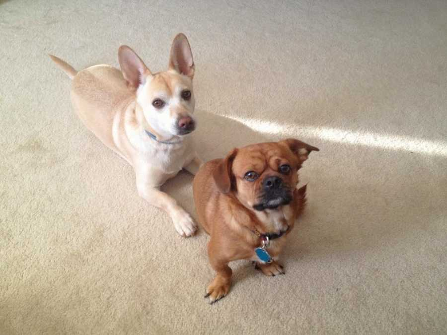 Mike has 2 dogs: Boq, a corgi/lab mix and Chai, a pug/Pekingese mix. Both came from The Spartanburg Humane Society.