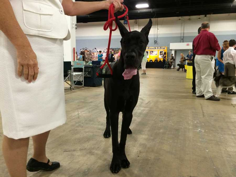 If you are interested in seeing the most breeds in the shortest time, it's best to attend the group judging, where you will see the Best-of-Breed winner of each breed in that group.