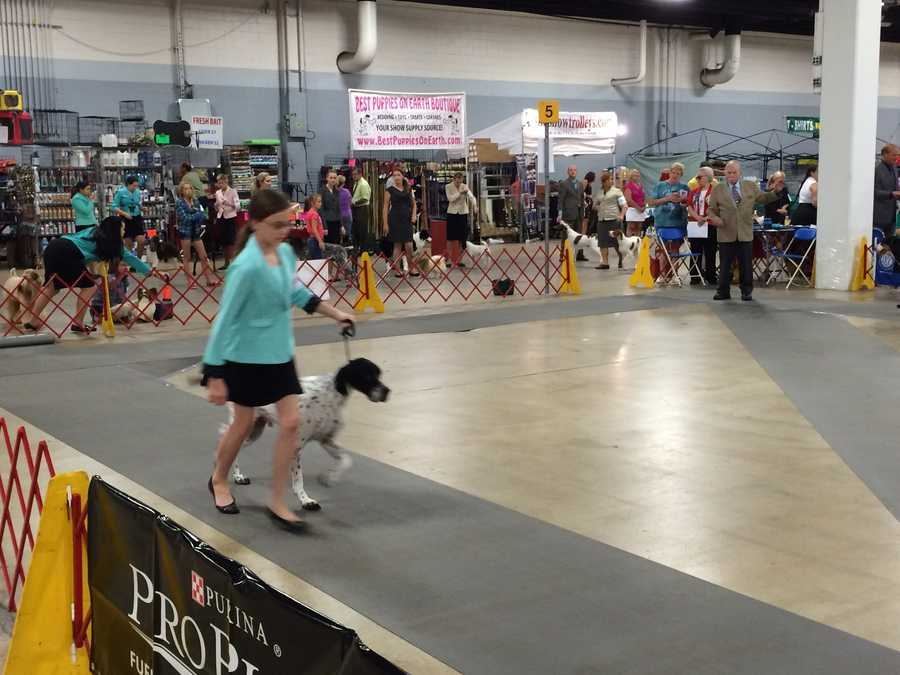 Judging of each group takes about 20 minutes. Seeing all the breeds will take a little more than two hours.
