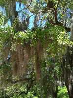 A few things Pamela says she still misses about the Lowcountry of South Carolina…  Mossy trees