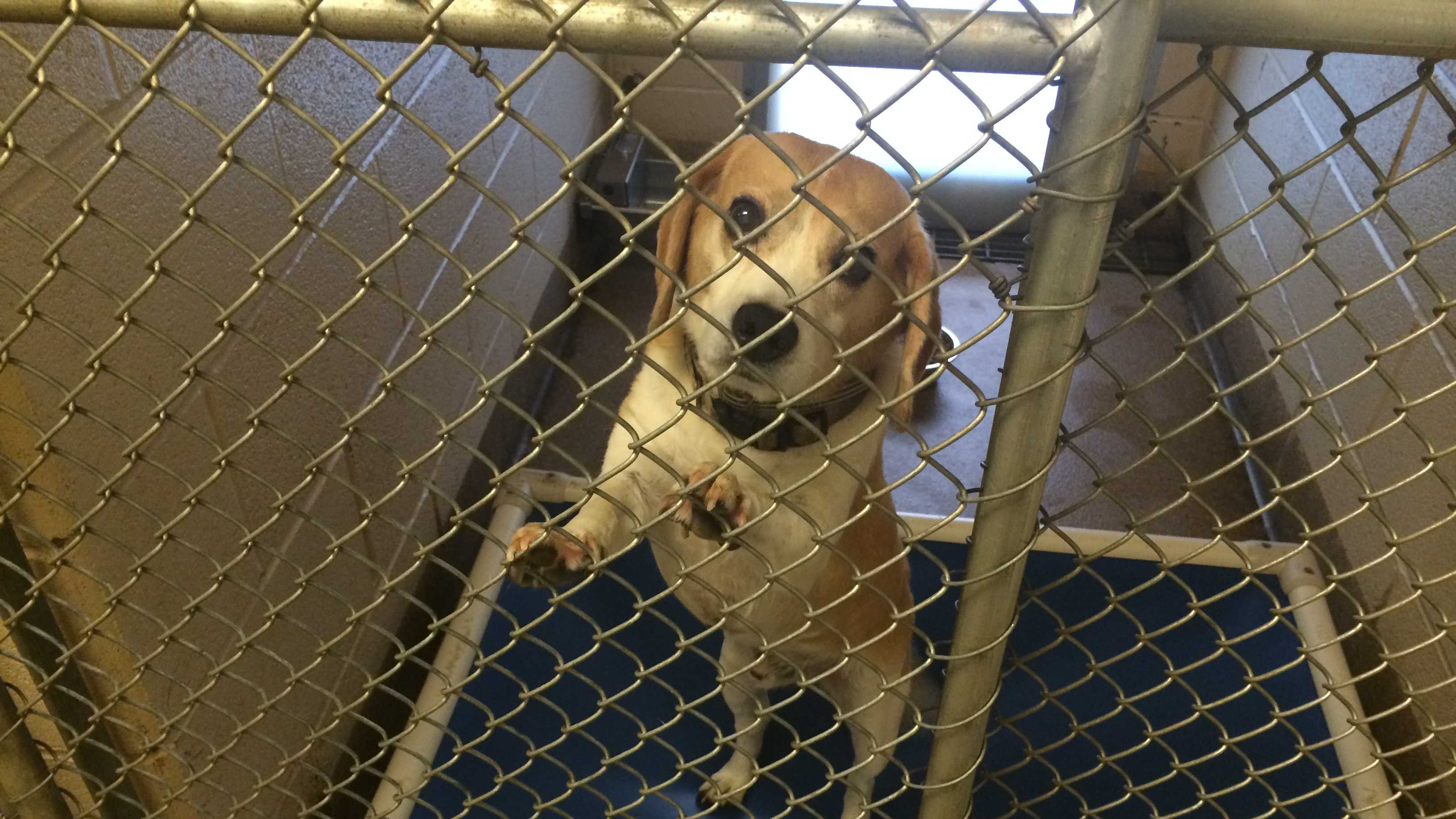 This beagle is one of the three dogs accused of attacking an elderly Henderson County woman.