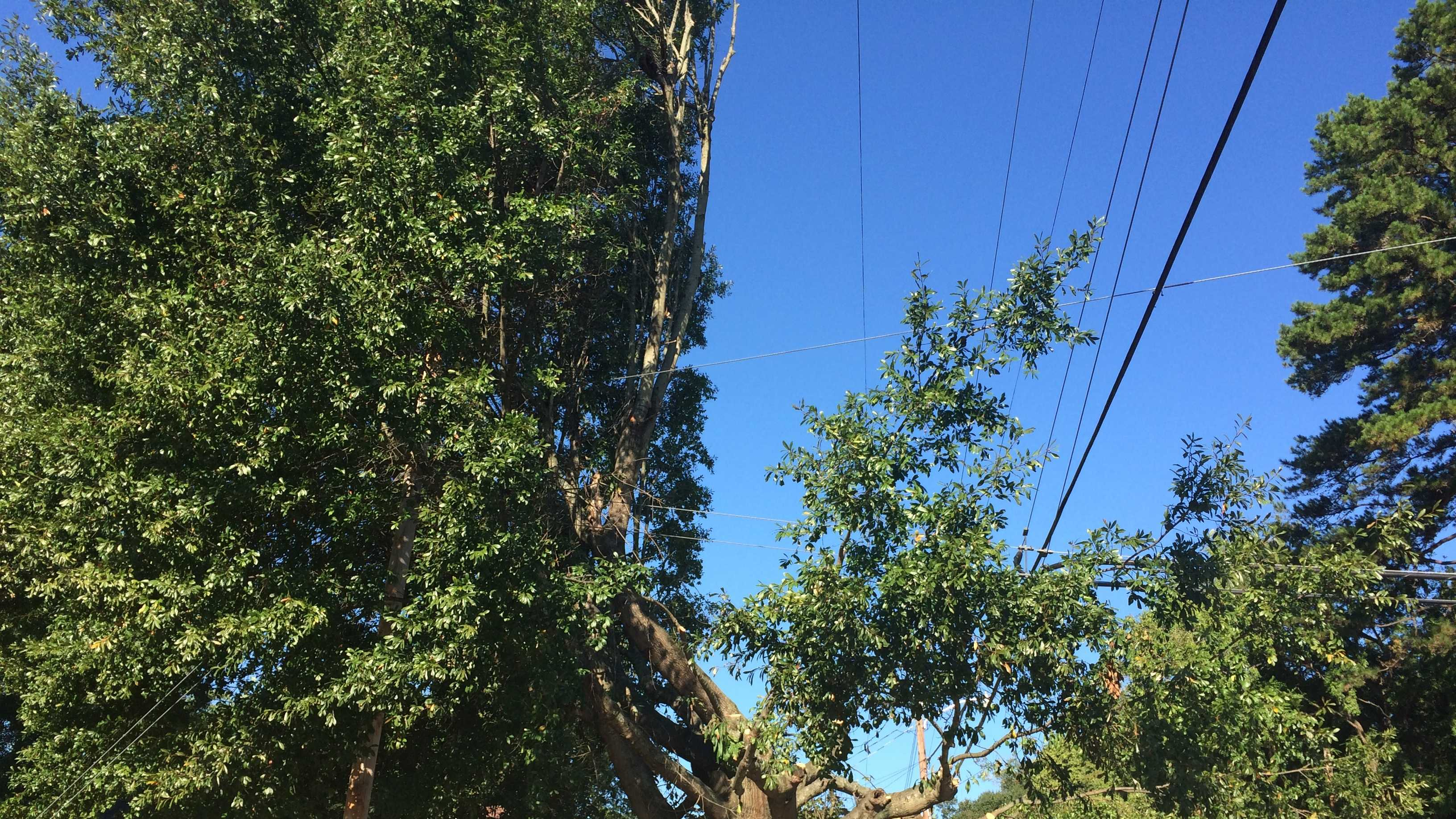 This tree on Bennett St. and Gallivan St. has had a large area trimmed to prevent it from touching the power lines.