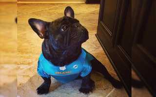 Gatsby the French Bulldog is a Miami Dolphin fan.