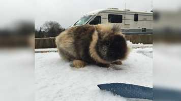 Lionhead rabbit in the snow.