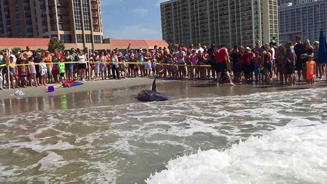 Image of the beached calf whale. Source: Patti Hulbert