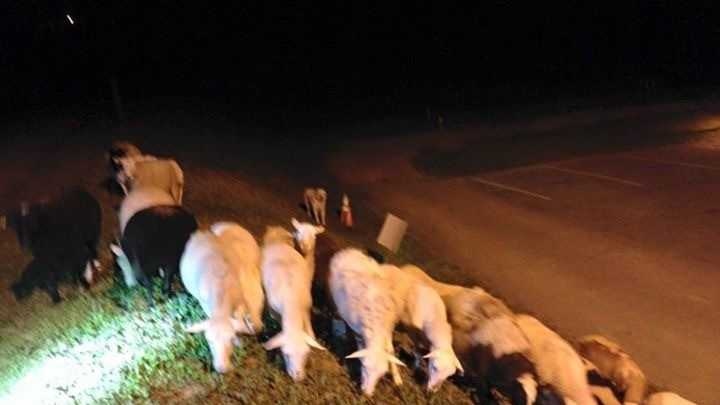 Brookhaven Police Department helps round up sheep blocking a Georgia roadway.