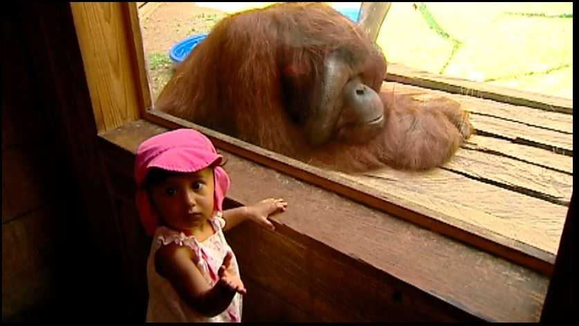 A young visitor stops by the orangutan enclosure and gets a close look at Mia.
