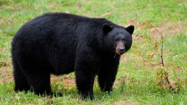 Black bear blurb